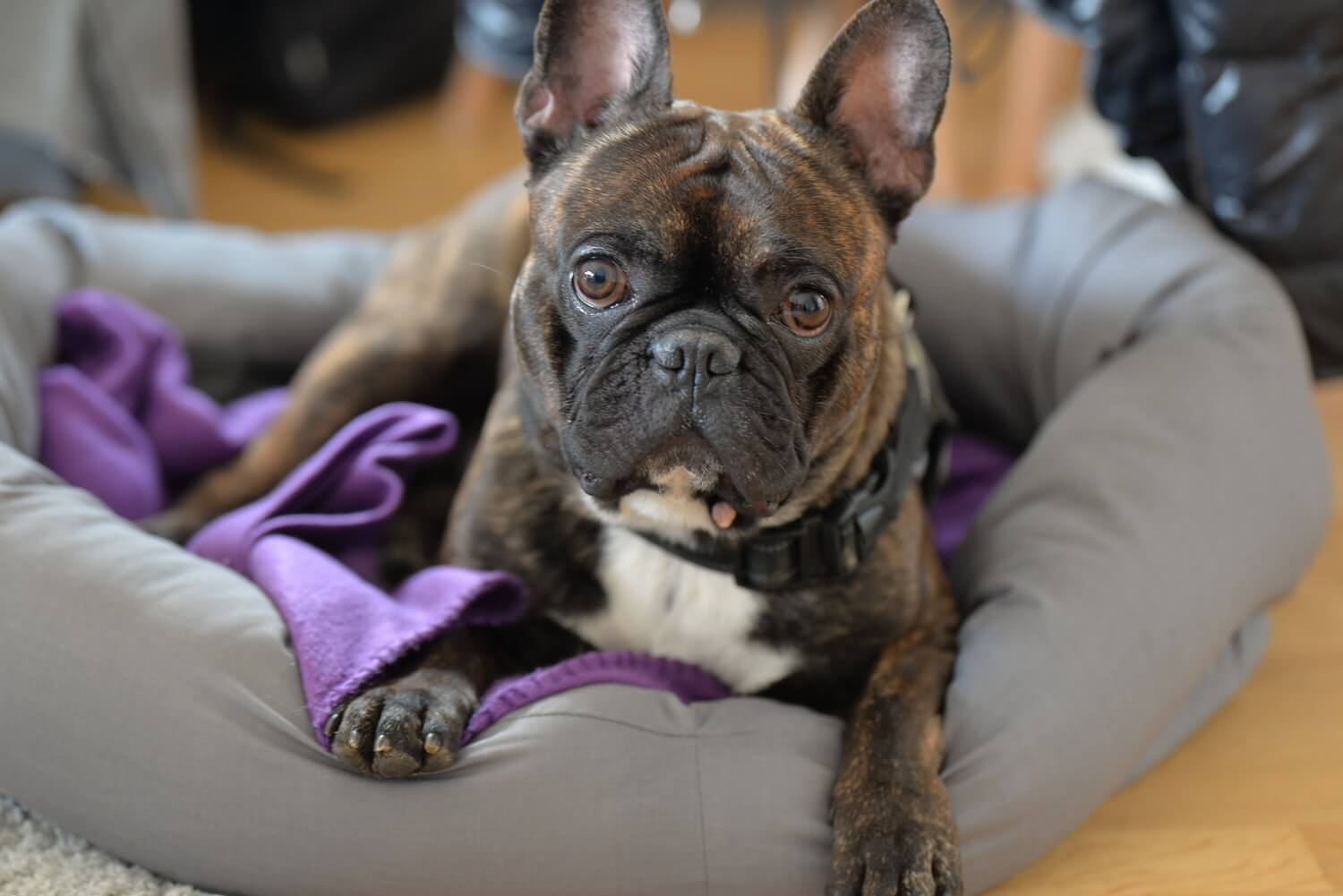 What To Know About French Bulldogs Argos Pet Insurance
